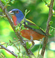 Painted Bunting, 2005, Edmond, Oklahoma USA.jpg
