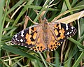 Painted Lady. Vanessa cardui....freshly hatched and perfect. (32287421078).jpg