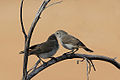 Pair of Chestnut-rumped Thornbills.jpg