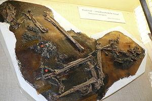 Palaeotis - Partial fossil specimen, Geisel valley museum