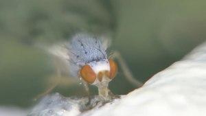 File:Palloptera umbellatarum - 2014-06-09.webm