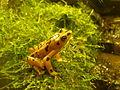 Panamanian golden frog atelopus zeteki.JPG