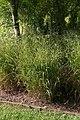 Panicum virgatum Shenandoah 11zz.jpg