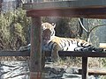 Panthera tigris altaica in Akita Omoriyama Zoo 20170326.jpg