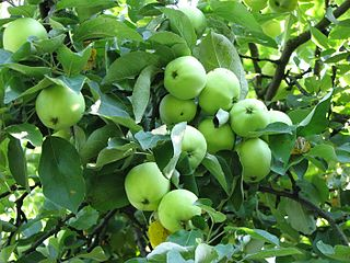 White Transparent Apple cultivar