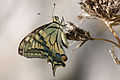 Papilio machaon 005.jpg