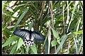 Papilionidae (10779886404).jpg