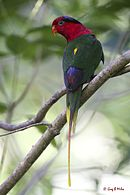 Green parrot with red head, black stripe across the eyes, blue inner wings and yellow tail and wing tips