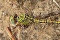 Paragomphus genei. Green Hooktail. Male. (5102152536).jpg