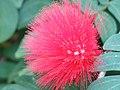 Parc Olbius Riquier (Greenhouse) - Calliandra haematocephala (flower).jpg