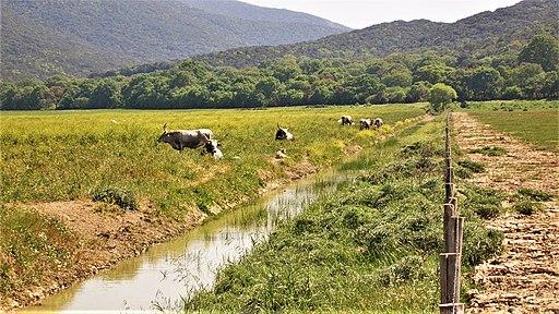 Parco naturale della Maremma, pascolo brado (vacche Maremmana)