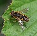Parhelophilus spp (male).jpg