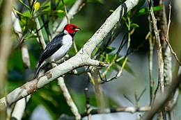 Paroaria gularis, Red-capped Cardinal.jpg