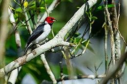 Paroaria gularis, Red-capped Cardinal.jpg