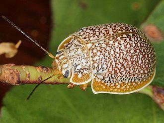 Chrysomelinae - Image: Paropsis dilatata