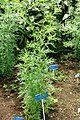 Parthenium hysterophorus - Urban Greening Botanical Garden - Kiba Park - Koto, Tokyo, Japan - DSC05370.jpg
