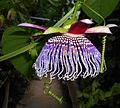 Passiflora 2015-06-16 324.JPG