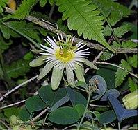 Passiflora arbelaezii L. Uribe.
