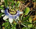 Passiflora caerulea, A Guarda, 05.jpg