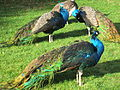 Peacocks at Royal Roads University, British Columbia (2012) - 5.JPG