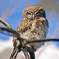 Pearl-spotted Owlet Glaucidium perlatum National Aviary 1900px.jpg