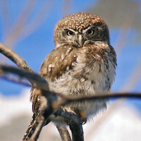 Ficheiro:Pearl-spotted Owlet Glaucidium perlatum National Aviary 1900px.jpg