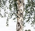 Peeling Bark, Minneapolis (34945453900).jpg