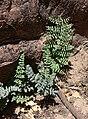 Pellaea truncata 4.jpg