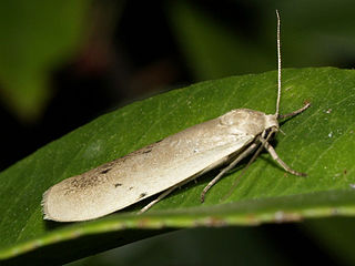 <i>Pelosia</i> Genus of moths