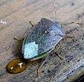 Pentatomidae. Nezara viridula. - Flickr - gailhampshire.jpg