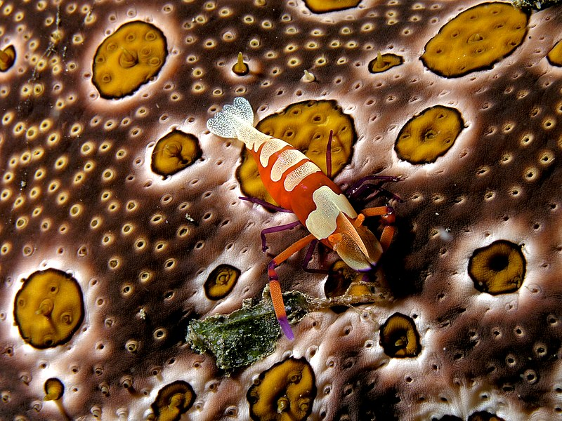 Periclimenes imperator (Emperor shrimp) on Bohadschia argus (Sea cucumber)