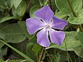 Periwinkle (vinca minor) - geograph.org.uk - 402318.jpg