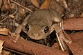 Peron's tree frog.jpg