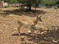 Persian-Fallow-Deer Hai-Bar-Carmel.jpg