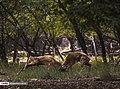 Persian Fallow Deers in Dasht-e Naz Wildlife Refuge 2020-06-02 01.jpg