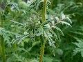 Phacelia tanacetifolia 2017-05-23 1269.jpg