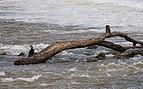 Phalacrocorax carbo, Hérault River cf04.jpg