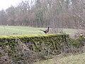 Pheasant - geograph.org.uk - 337106.jpg
