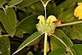 Phlomis fruticosa flower Merritt.JPG