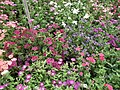Phlox from Lalbagh flower show Aug 2013 8175.JPG