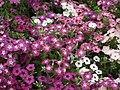 Phlox from Lalbagh flower show Aug 2013 8415.JPG