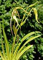 Phragmipedium lindenii Orchi 017-2.jpg