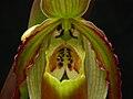 Phragmipedium vittatum 262.jpg