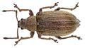 Phyllobius pyri (Linné, 1758) female (10570851896).png