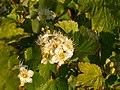 Physocarpus malvaceus (5069892878).jpg