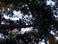 Picea abies (1111) 05.JPG