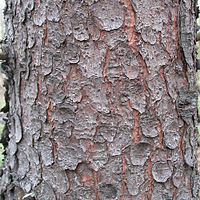 Picea abies bark.jpg