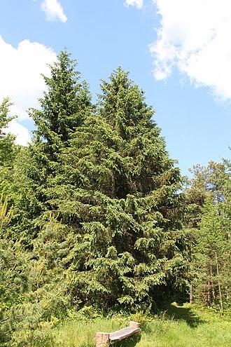 Picea schrenkiana - Picea schrenkiana tree in Rogów Arboretum, Poland