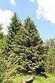 Picea schrenkiana Rogów 2.JPG