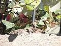 Pichones de torcaza juveniles 06.jpg